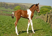 Foal near the Pennine Bridleway trail.